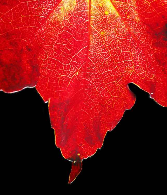 Fall Red Maple Leaf -
