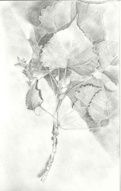 Cottonwood Leaves -