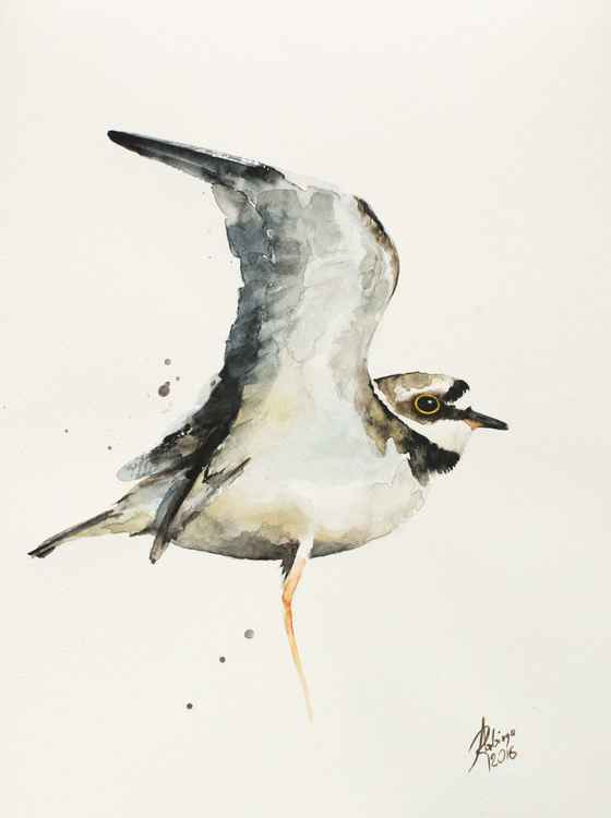 Little Ringed Plover (Charadrius dubius) -