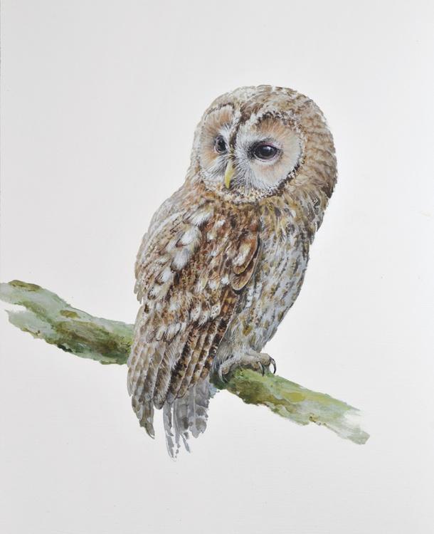 Tawny owl  (Strix aluco) - Image 0