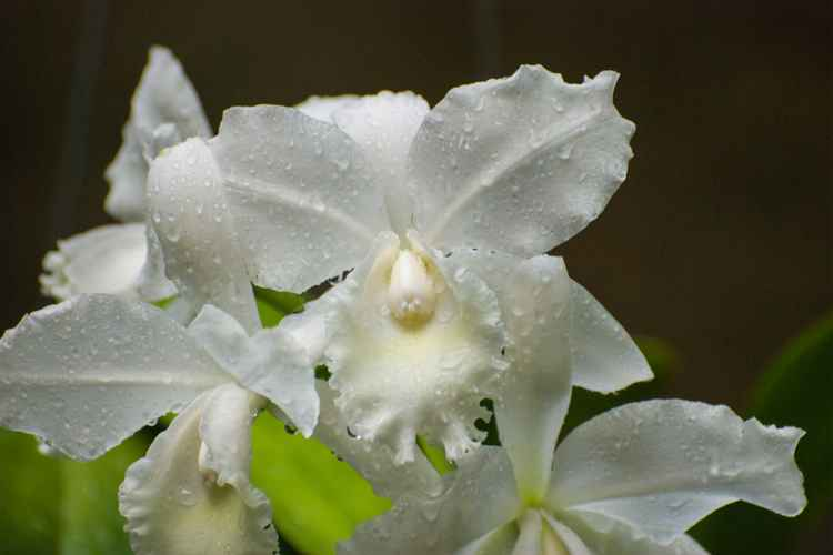 White Orchids -