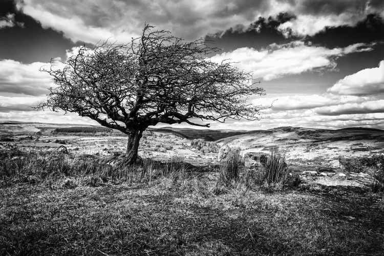 Hawthorne tree on Dartmoor -