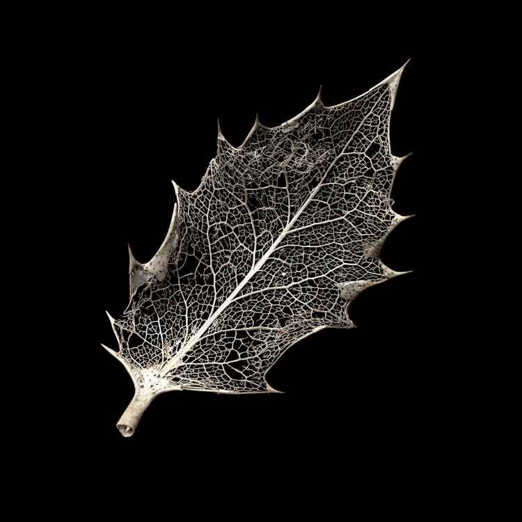 Ilex aquifolium One -