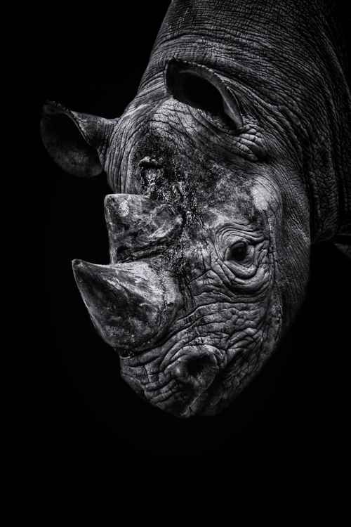 Rhino looking down -