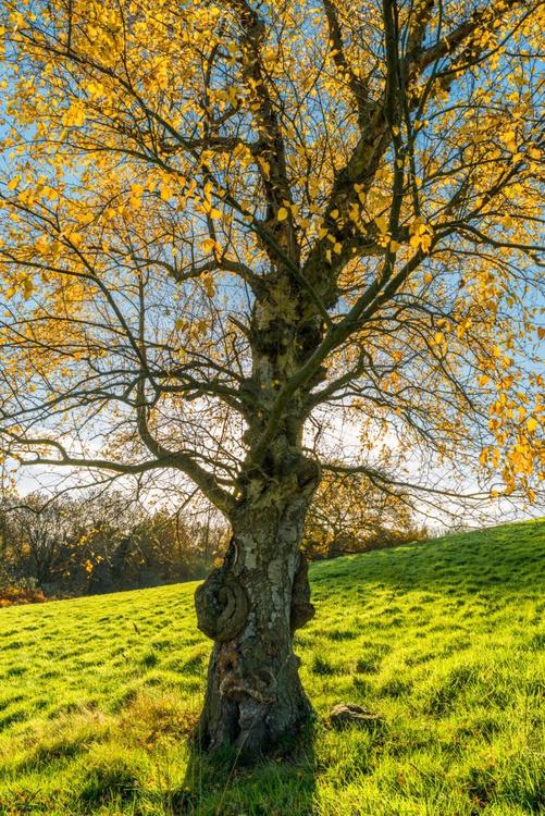 Sunlit Birch - Image 0