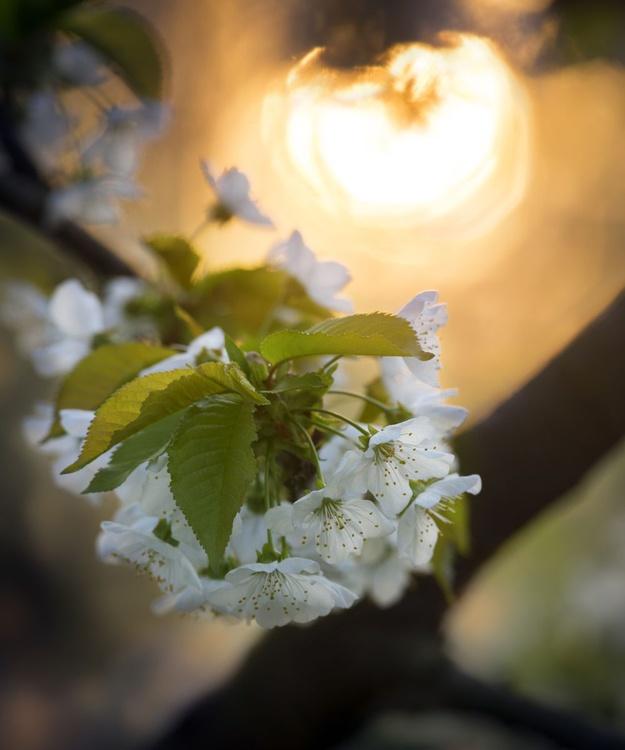Cherry Blossoms At Sunrise - Image 0