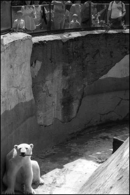 Polar Bear with Stick at Zoo Praha -