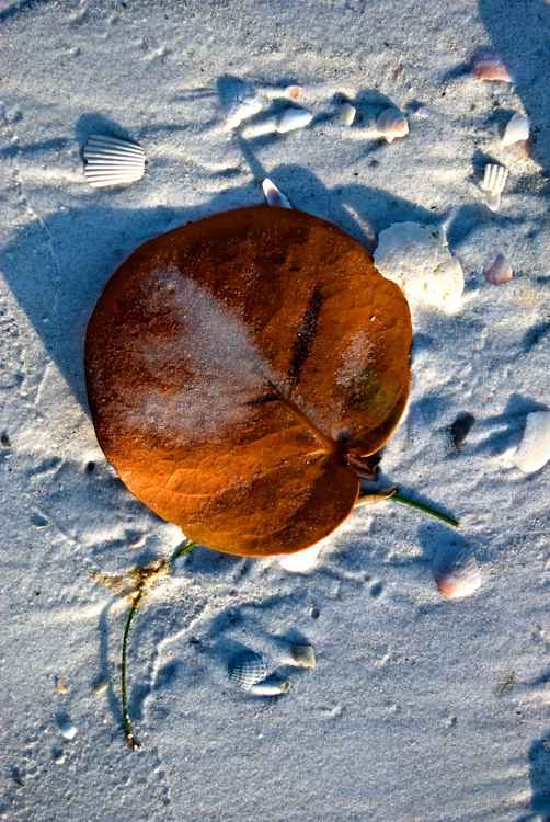 Leaf of Sea Grape -