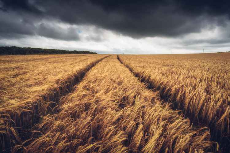 Cereal crops on a stormy day -