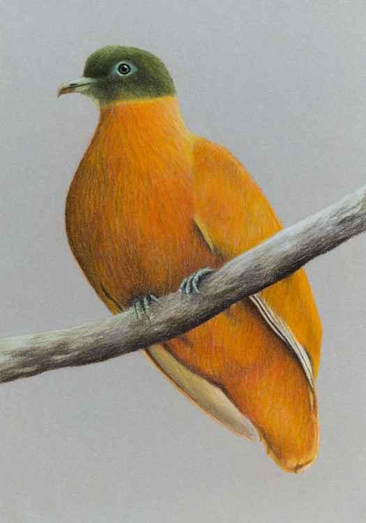 """Original pastel drawing """"Orange fruit dove"""""""