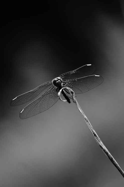 Dragonfly -