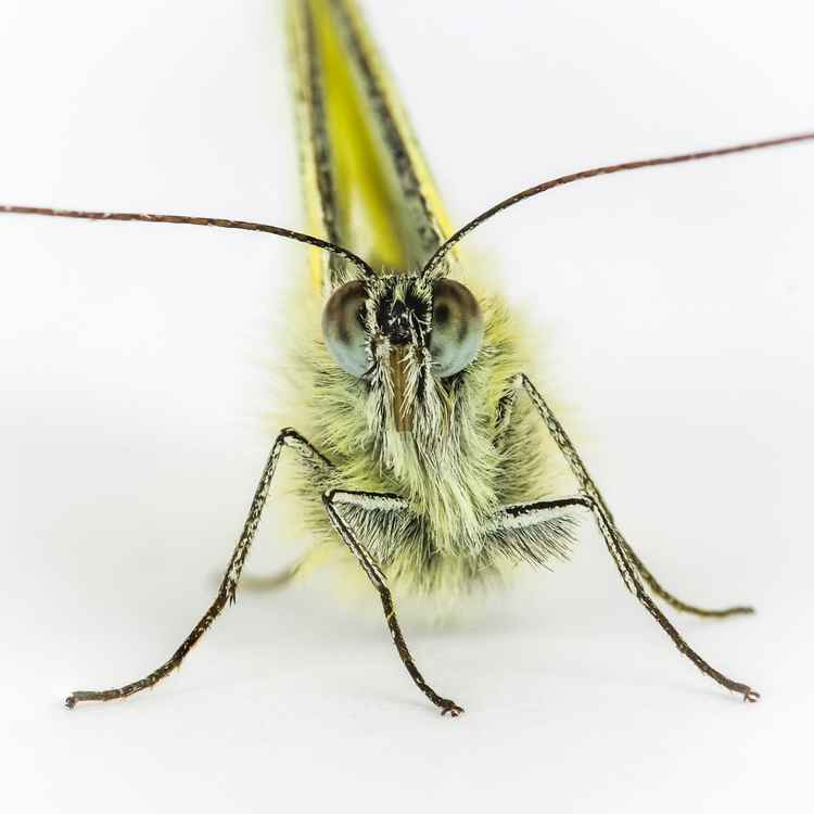 Green Veined White 02 -