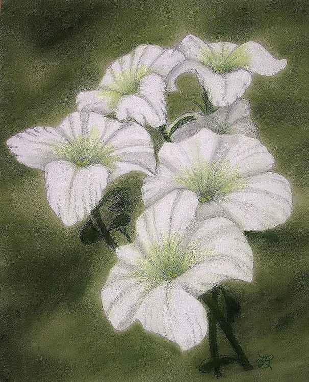 White Petunias -