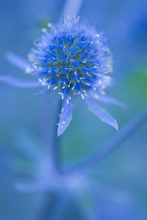 Sea Holly - Image 0