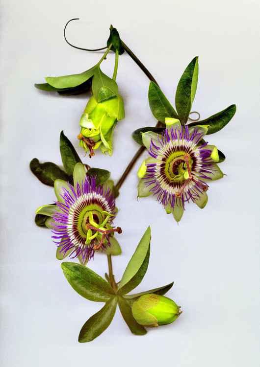 Passiflora -