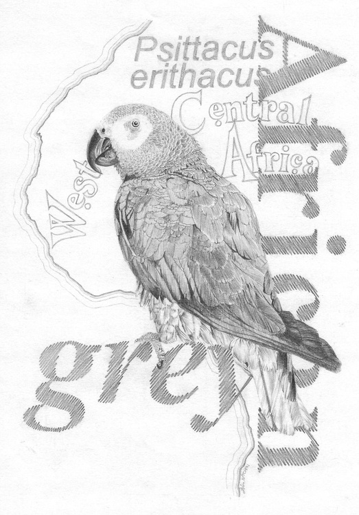 African Grey Parrot - Image 0