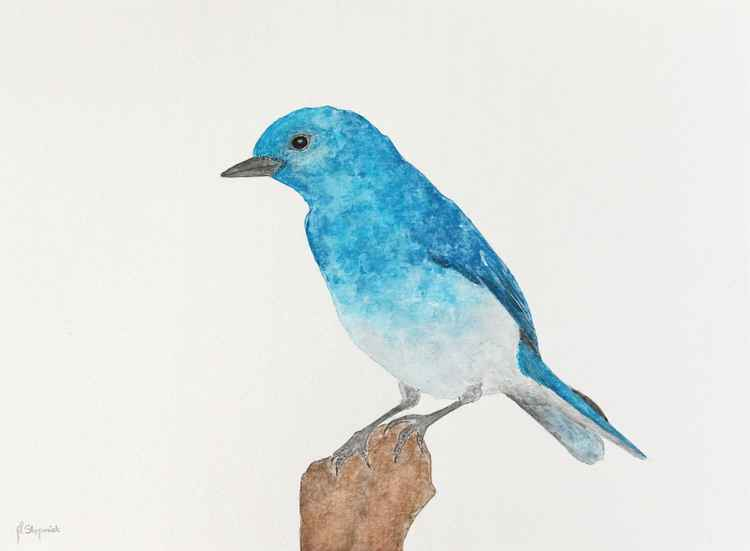 The mountain bluebird (Sialia currucoides) -