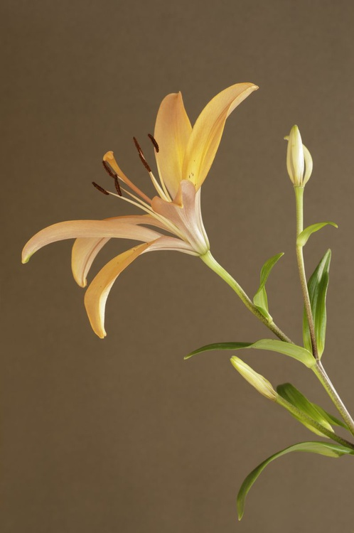 LA Lillie on a Brown Background. - Image 0