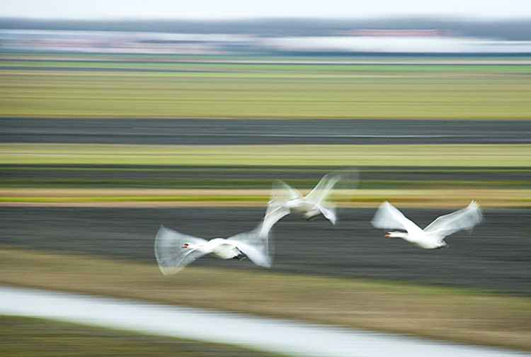 Swans in Dutch Polder -