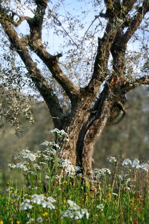 Mr. Olive Tree - Image 0