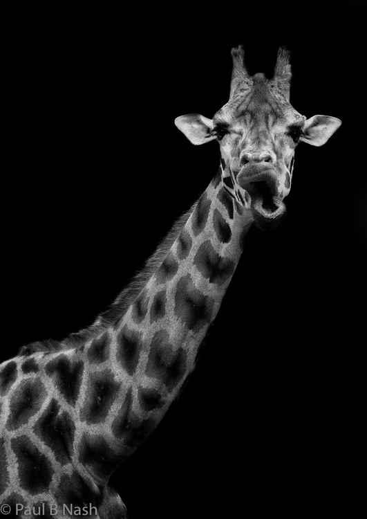 Giraffe chewing the cud