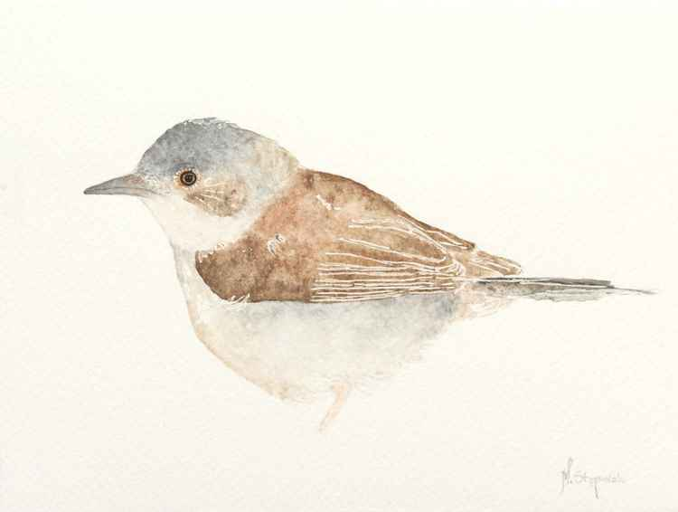 The common whitethroat (Sylvia communis) -