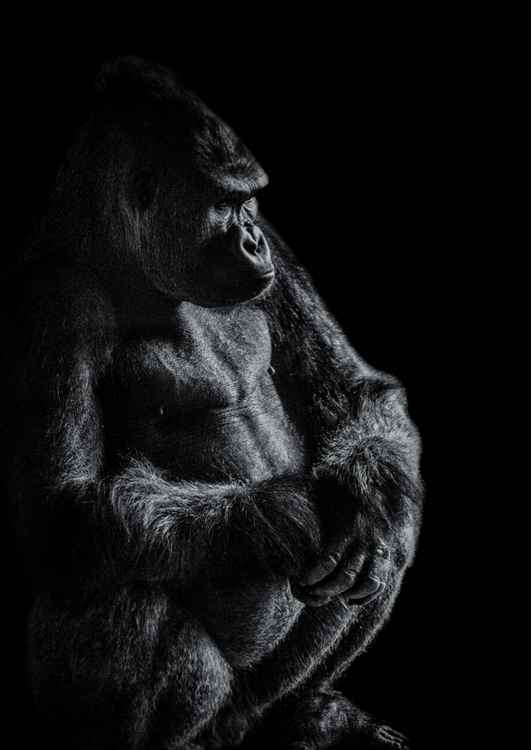 Gorilla contemplating