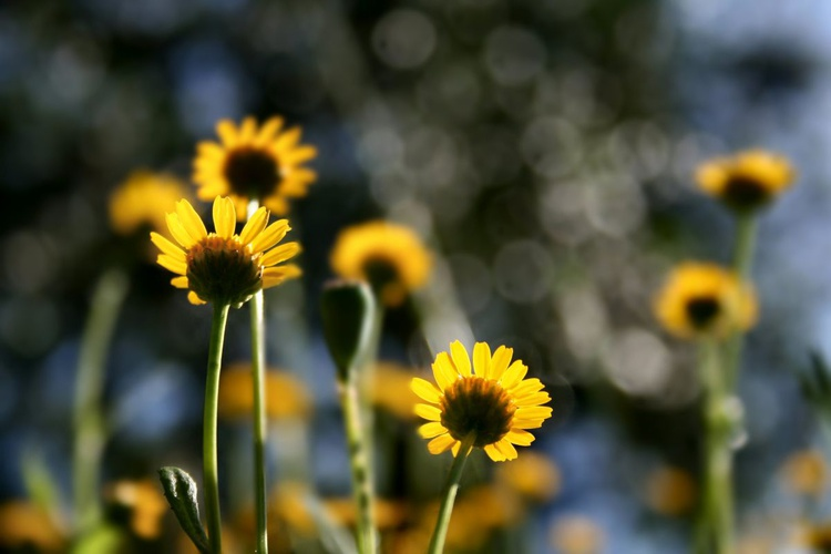 Daisies in the light - Image 0