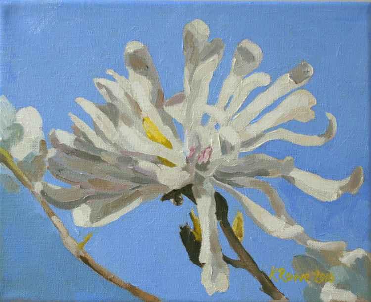Magnolia Stellata -