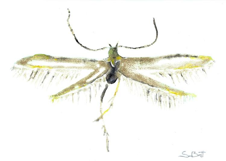 Coleophoridae - Image 0