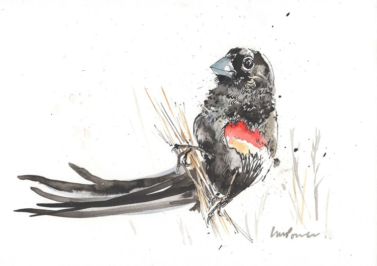 Long tailed Widow Bird - Daily Bird #58 - Image 0