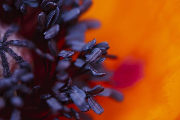 Macro Poppy I, 2013 - Image 0