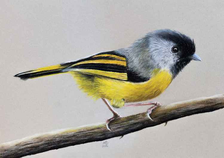 "Original pastel drawing ""Golden-breasted fulvetta"" -"
