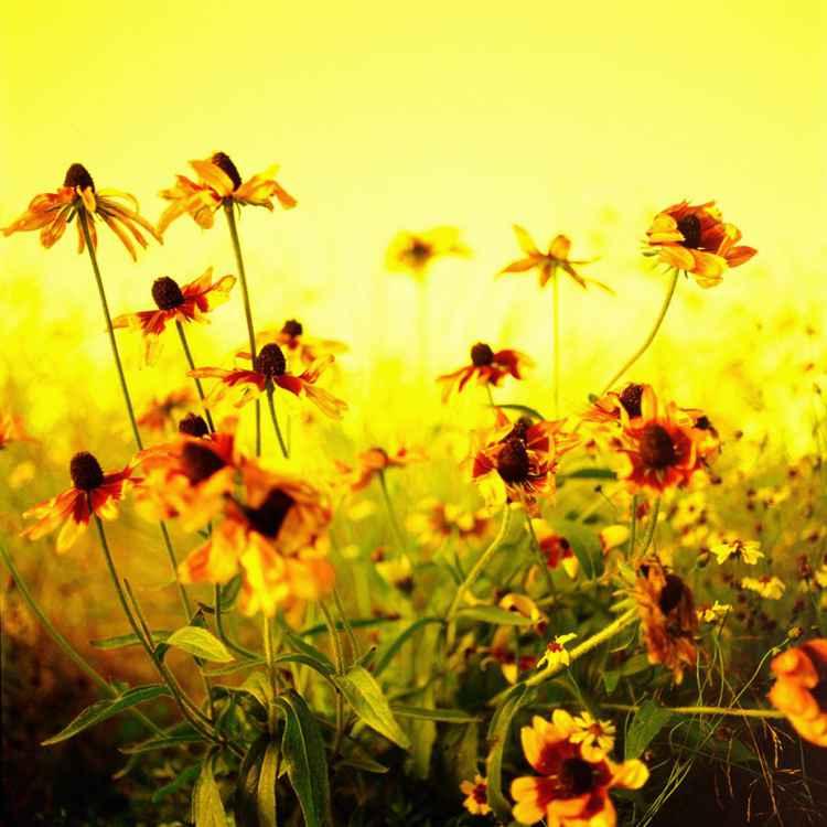 Yellow series - Flowers