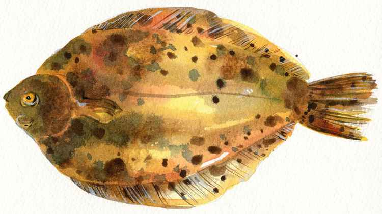 Lemon Sole Fish Watercolour