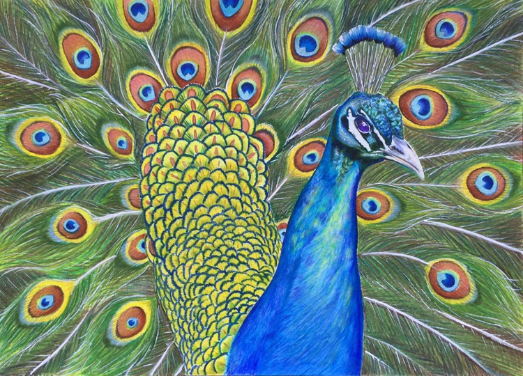 Proud peacock - Image 0
