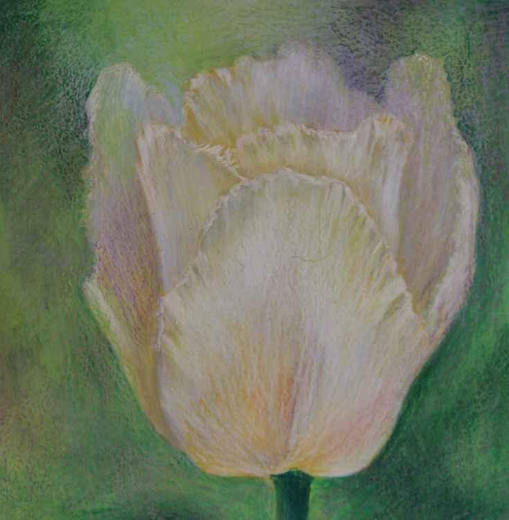 white tulipe 2 -