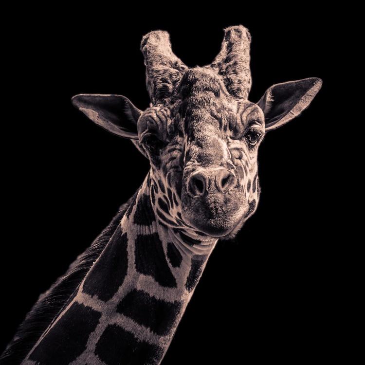 The Giraffe - Image 0