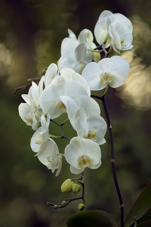 The White Orchids - Image 0
