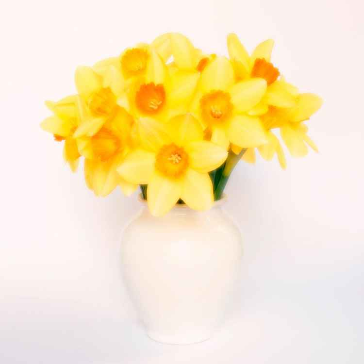 Daffodils in a White Vase -