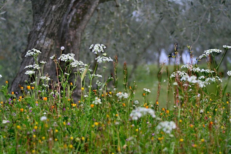 ignes fatui in the olive groves - Image 0