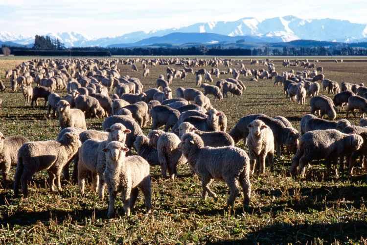 Sheep, New Zealand -