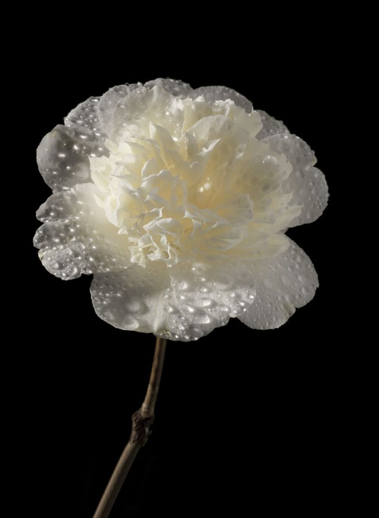 Camellia Williamsil 'Jury's Yellow' Water Sprayed  on a Black Background - Image 0