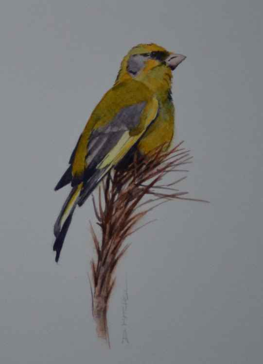 Greenfinch -
