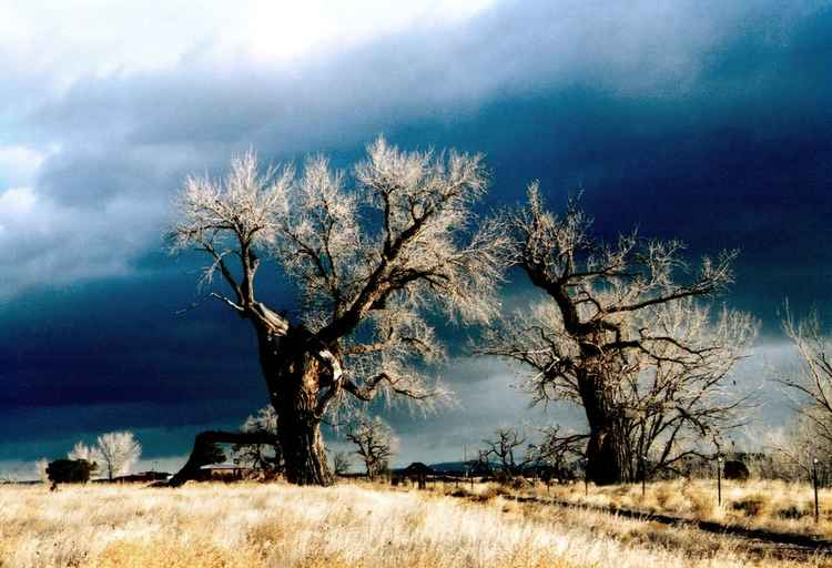 Dance of the Cottonwoods