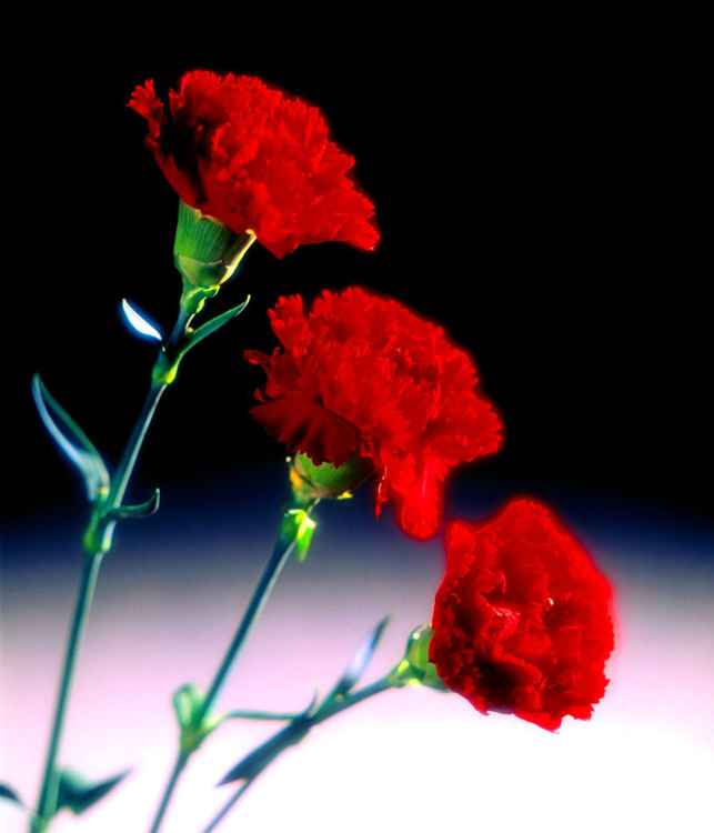 Red Carnations -