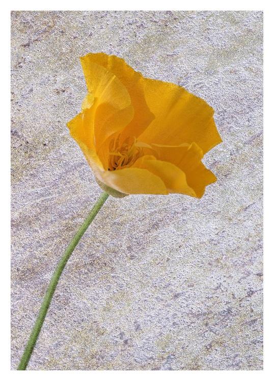 Orange Poppy on a textured layer. - Image 0