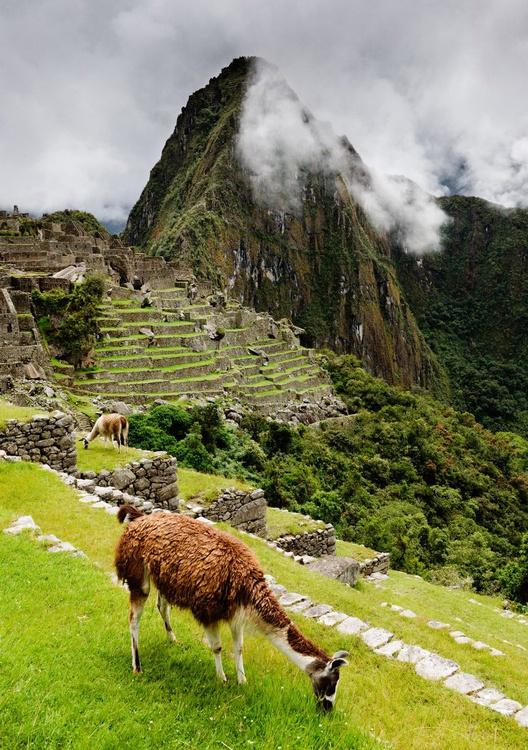 Grazing Llama at Machu Picchu. (84x119cm) - Image 0