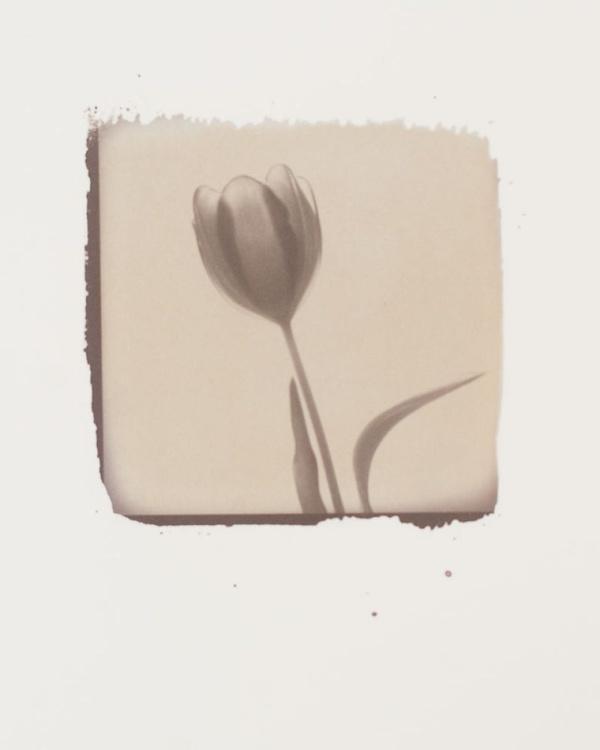 Tulip - 1 - Image 0