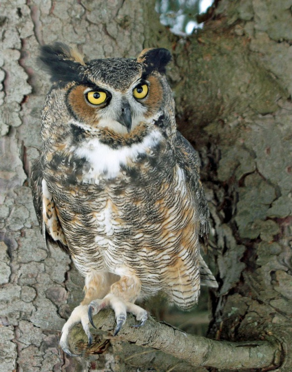 Great Horned Owl on lookout - Image 0